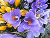 fiori-di-bach